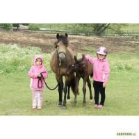 Валлійський поні - кобила