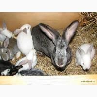 Продам кроликов на племя