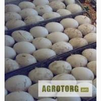 Яйца инкубационные гусиные