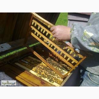Пропонуємо Вам купити бджоломатки з племінних пасік карпатської породи