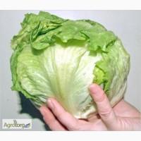 Продам салат Айсберг