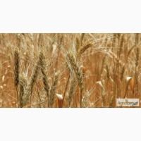 Пшеницa Фураж 500 тонн