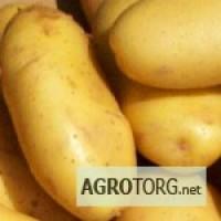 Картофель из Египта, Египетский картофель оптом