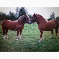 Продаються коні ваговози