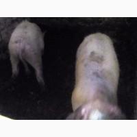 Продам свиней та баранов