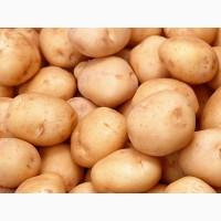 Картопля посадкова