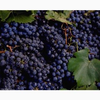 Продам виноград Одесський чорний