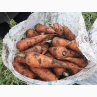 Продам морковь оптом от 20 тонн