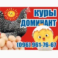 Цыплята куры несушки Доминант. Чехия. 01.03.2019