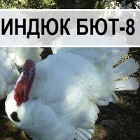 Бройлер кросс индюк бют 8 из Словакии. Выход от 80% цена 60 грн