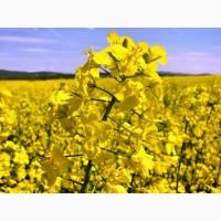 Семена озимого рапса Черный Велетень, урожайность 60 ц/га