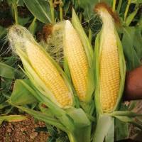 Насіння кукурудзи Дункан 233 СВ, ФАО 270