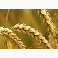 Семена пшеницы озимой Таня Элита, 97, 5-122, 1 ц/га