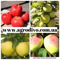 Огромный ассортимент плодовых деревьев, кустовых и плетистых роз от производителя