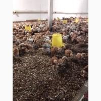 Продаж мясояєчноі курочки вага від450до 600грам