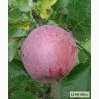 Продам саженцы яблони, груши, черешни, абрикоса, персика, слива, винограда, смородины, роз