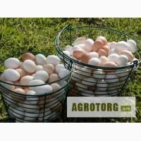 Продам інкубіційні яйця курей, гусей, цесарок, качок, індо-качок та ін.