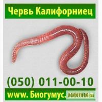 Купить красного калифорнийского червя, червя старателя для производства биогумуса