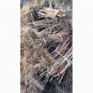 Продам(на10га) саженцы малины ремонтантного сорта польской селекци ПОЛКА