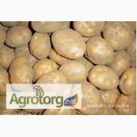 Картофель семенной, продовольственный
