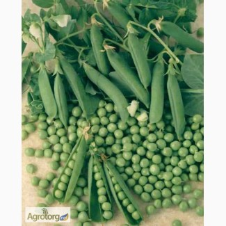 Семена гороха Царевич - 1 репр., пригодный к сбору прямым комбайнированием
