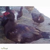Мускустні качки, інкубаційне яйце, каченята