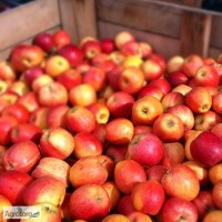 Куплю яблоки разных сортов. Оптом, за наличные. Самовывоз