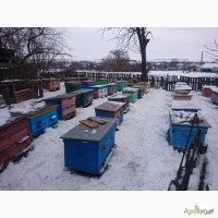Продам Пчелосемьи Пасеку Пчелопакеты