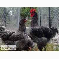 Інкубаційні яйця декоративної птиц по низький ціні.Усі ціни договорні