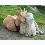 Куплю дорого бараны овцы козы врх