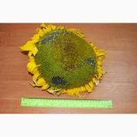 Продам семена подсолнечника под гранстар Антей, 107-111 дней