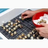 Инкубационные перепелиные яйца. с.Демидов