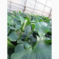 Продам срез цветка калла (эфиопская белая) оптом и в розницу