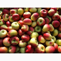 Продам яблука на переробку