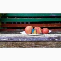 Продам яблука зимові та осінні сорти