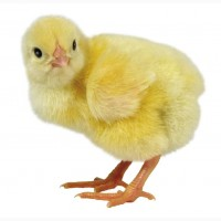 Курчата Бройлери кури добові посуточні Кобб 500 Польща циплята курка суточні вакциновані