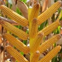 Постійно закуповуємо кукурудзу