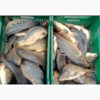 Продам рыбу живую карп карас линь
