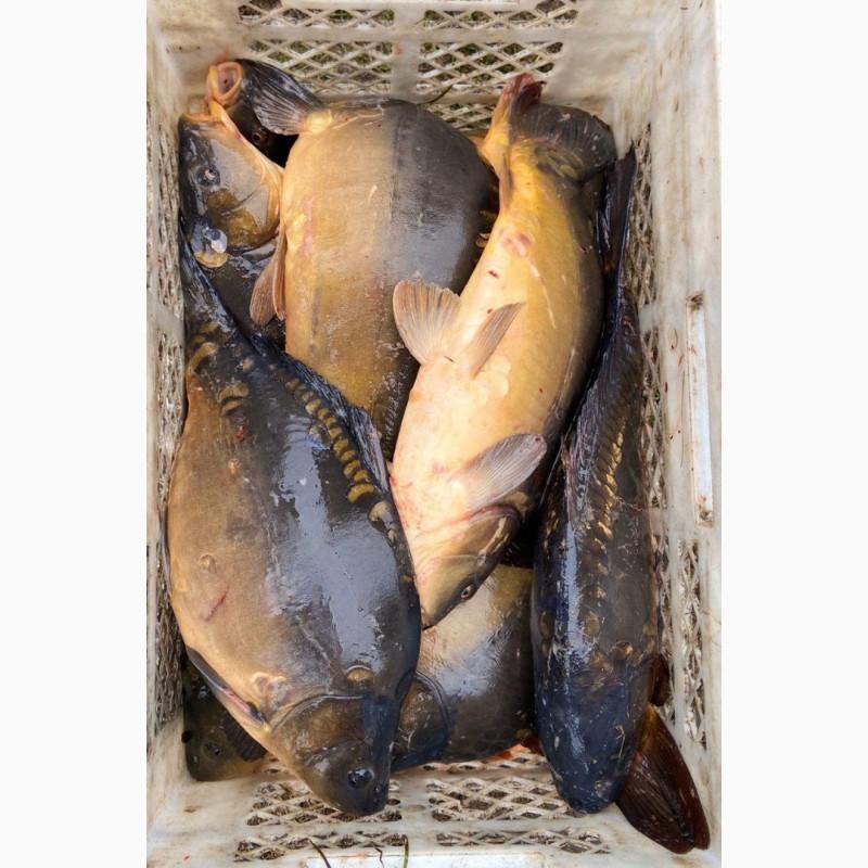 Фото 2. Продам живую рыбу из пруда