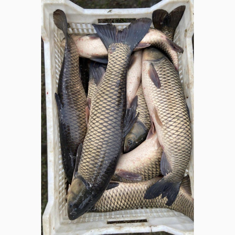 Фото 3. Продам живую рыбу из пруда