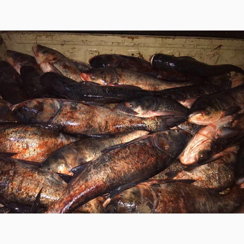 Фото 4. Продам живую рыбу из пруда
