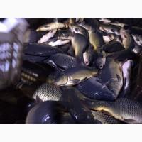Продам живую рыбу из пруда