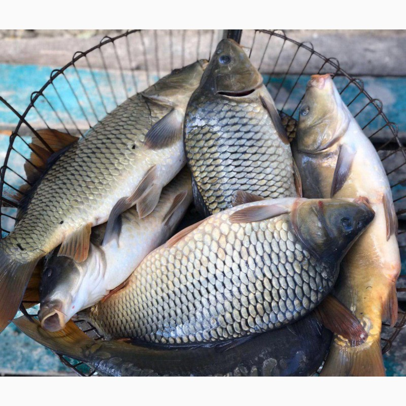 Фото 7. Продам живую рыбу из пруда