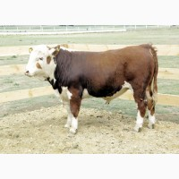 Заготівля худоби (Жмеринський, Барський, Шаргородський і сусідні райони)