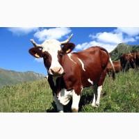 Мясной мир закупает коров в Харьковской обл