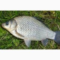 Продам живую рыбу Карась