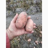 Реалізовуємо товарну і насіннєву картоплю
