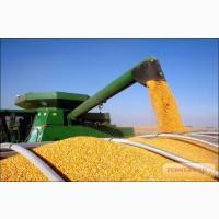 Кукурузу малi та великi партii, суху i не сушену