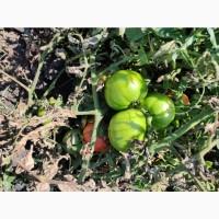 Продам зелені і бурі помідори з поля