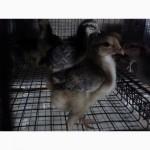 Курчата цыплята суточные и подросшие мясо-яичные Барвыстые и Кучинка